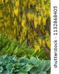 Small photo of Yellow Laburnum Tree flowers drapine overtop of ferns and hosta plants. Vandusen Botanical Garden, Vancouver, British Columbia, Canada