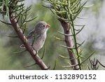small ground finch  geospiza...   Shutterstock . vector #1132890152