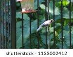 blue jay bird songbird flying... | Shutterstock . vector #1133002412