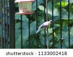 blue jay bird songbird flying... | Shutterstock . vector #1133002418