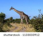 south african giraffe group ... | Shutterstock . vector #1133033912