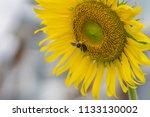 bumblebee and sunflower  bee is ...   Shutterstock . vector #1133130002