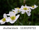 white flowers. anemone... | Shutterstock . vector #1133193722