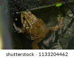 wild toads in the water. | Shutterstock . vector #1133204462