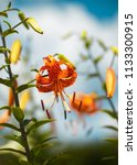 tiger lily in a garden  flowers | Shutterstock . vector #1133300915