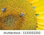 bee collecting pollen nectar on ... | Shutterstock . vector #1133332202
