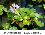 close up of the blooming violet ...   Shutterstock . vector #1133358452