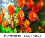 beautiful fish in an aquarium.   Shutterstock . vector #1133472626