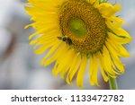 bumblebee and sunflower  bee is ...   Shutterstock . vector #1133472782