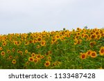 sunflower field of hokuruu town ... | Shutterstock . vector #1133487428