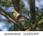blackbird on a tree | Shutterstock . vector #113351395