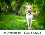 a mixed breed dog with sectoral ... | Shutterstock . vector #1133543225