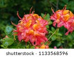 bright pink and yellow flowers... | Shutterstock . vector #1133568596