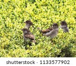 a flock of sparrows sits on... | Shutterstock . vector #1133577902