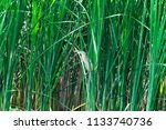 a small heron hides in the... | Shutterstock . vector #1133740736