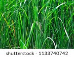 a small heron hides in the... | Shutterstock . vector #1133740742