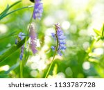 tufted vetch  vicia cracca ...   Shutterstock . vector #1133787728