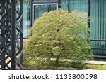 Japanese Maple Tree Seiryu Wit...