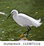 chinese egret with white... | Shutterstock . vector #1133871116