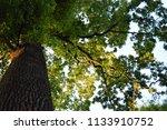 beautiful big green oak tree in ... | Shutterstock . vector #1133910752