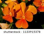 Bright Orange Violas