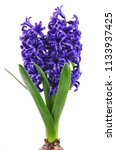 blue spring hyacinth isolated...   Shutterstock . vector #1133937425