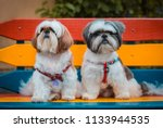 Two Shih Tzu Dogs Sitting In A...