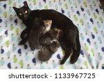 Stock photo mother cat nursing kittens 1133967725