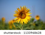 focus on a sunflower | Shutterstock . vector #1133968628