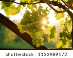 sauvignon blanc grapes hanging... | Shutterstock . vector #1133989172