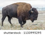 american bison on the colorado... | Shutterstock . vector #1133995295