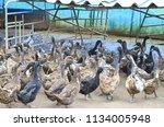 ducks in rural farm outdoor | Shutterstock . vector #1134005948