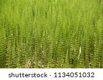 the field horsetail or common...   Shutterstock . vector #1134051032
