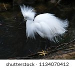 Snowy Egret In It's Environment....