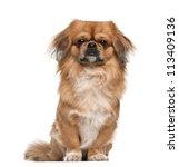 pekingese  18 months old ... | Shutterstock . vector #113409136