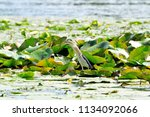 little heron searches for prey... | Shutterstock . vector #1134092066