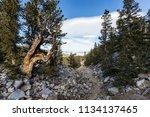 bristlecone pines trail in... | Shutterstock . vector #1134137465