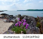 Purple Flowers On A Rocky Beach ...