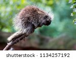 tree porcupine holding onto a... | Shutterstock . vector #1134257192