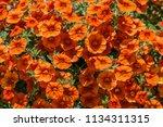 colorful pelargonium geraniums... | Shutterstock . vector #1134311315