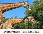 closeup two giraffes  giraffa... | Shutterstock . vector #1134368168