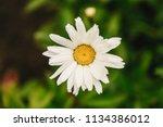 flowering of daisies. oxeye... | Shutterstock . vector #1134386012