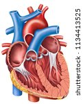 Human heart, cross section, descriptive scheme.