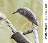 black crowned night heron ... | Shutterstock . vector #1134433136