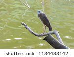 black crowned night heron ... | Shutterstock . vector #1134433142