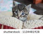 Tabby Kitten Sitting In A Cat...