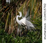 great egret in breeding plumage  | Shutterstock . vector #1134515702