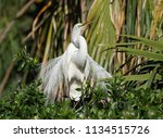 great egret in breeding plumage  | Shutterstock . vector #1134515726