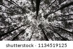 pines wood forest | Shutterstock . vector #1134519125