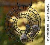 the eurasian blue tit is a... | Shutterstock . vector #1134520262